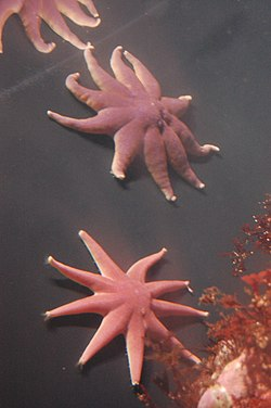 Purple sun stars, Boston Aquarium.jpg