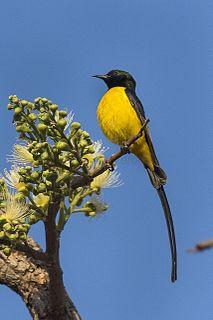 Pygmy sunbird species of bird