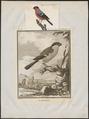 Pyrrhula rubicilla - 1700-1880 - Print - Iconographia Zoologica - Special Collections University of Amsterdam - UBA01 IZ16000311.tif