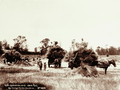 Queensland State Archives 2375 Hay carting at Clarkes farm Danderoo 1899.png