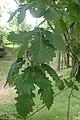Quercus canariensis kz03.jpg