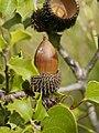 Quercus coccifera (acorn).jpg