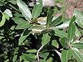 Quercus emoryi.jpg