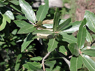 Quercus emoryi - leaves of Quercus emoryi