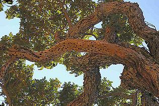 Quercus lobata.JPG