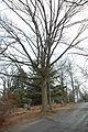 Quercus macrocarpa (23856239389).jpg