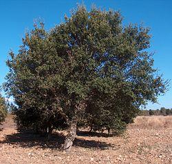 Quercus suber g1.jpg