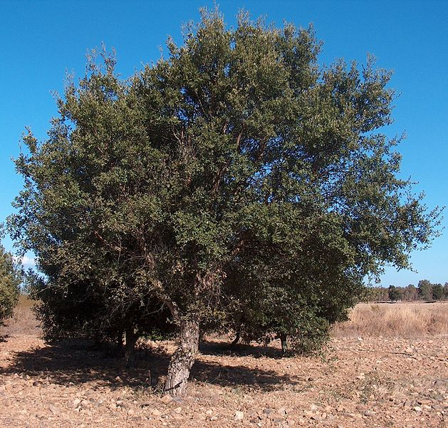 File:Quercus suber g1.jpg