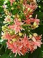 Quisqualis indica flower color and orientation.JPG