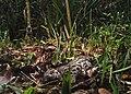 RER Sunda clouded leopard (Neofelis diardi).jpg
