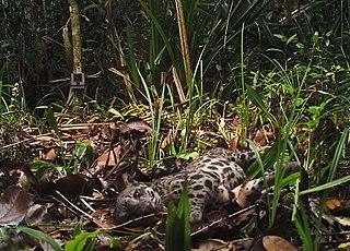 Sumatran clouded leopard species of felid