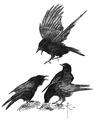 Raaf Corvus corax Jos Zwarts 3.tif