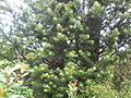 Ramas de mañío hembra (Podocarpus nubigenus).jpg