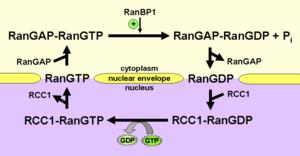 Ran (gene) - Schematic representation of the Ran cycle