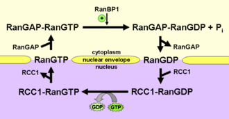 Ran (protein) - Schematic representation of the Ran cycle