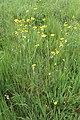 Ranunculus acris kz02.jpg