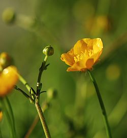 Ranunculus acris new.jpg
