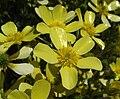 Ranunculuscortusifolius.jpg