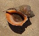 Rapana Black Sea 2009 G6.jpg