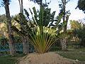 Ravenala madagascariensis -Tsimbazaza Zoo, Madagascar-8a.jpg