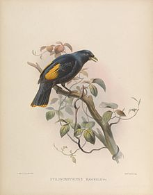 Rawnsley's bowerbird httpsuploadwikimediaorgwikipediacommonsthu