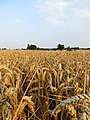 Ready to harvest - August 2012 - panoramio.jpg