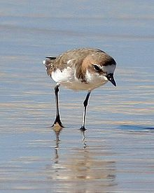 Red-capped Plover.jpg