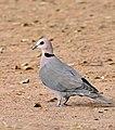 Red-eyed Dove (Streptopelia semitorquata) (32346608062).jpg