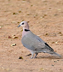 Red-eyed Dove (Streptopelia semitorquata) (32346608062).jpg