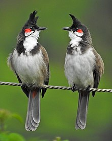 Red-whiskered bulbul pair (cropped).jpg
