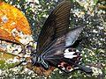Red Helen (Papilio helenus helenus) (8730531231).jpg