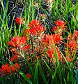 Red Indian Paintbrush Carbon County.jpg
