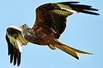 Red Kite (36208443646).jpg