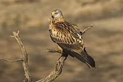 Red Kite - Catalonia - Spain MG 5333 (24587338854).jpg