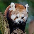 Red Panda (16299059669).jpg