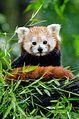 Red Panda (20463320350).jpg