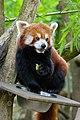 Red Panda (26961732727).jpg