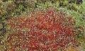 Red moss in Siikaneva.jpg
