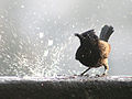Red vented Bulbul- Bathing I IMG 5685.jpg
