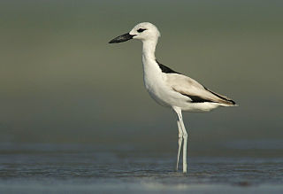 Crab-plover Species of bird