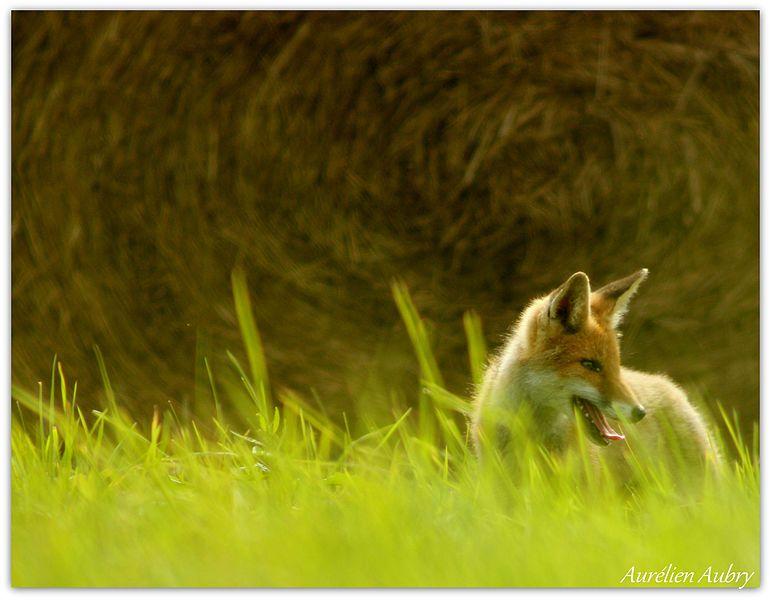 Ce renard, en quête de nourriture, se promenait le long des bottes de foin pour capturer ses proies.