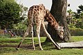 Reticulated Giraffe Bending.jpg
