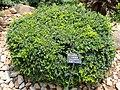 Rhamnus gilgiana - Kunming Botanical Garden - DSC03048.JPG