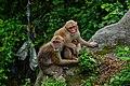 Rhesus Macaque 02.jpg