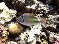 Rhinecanthus assasi - Rotmeer-Picassodrueckerfisch 0581.jpg