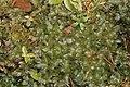 Rhizomnium magnifolium (a, 144151-472918) 3612.JPG