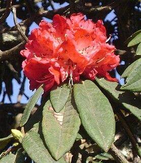 <i>Rhododendron arboreum</i> Species of flowering plant