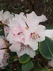 Rhododendron Cyanocarpum Wikipedia