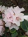 Rhododendron cyanocarpum.jpg