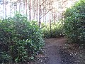 Rhododendron infestation, Links Wood - geograph.org.uk - 1226103.jpg